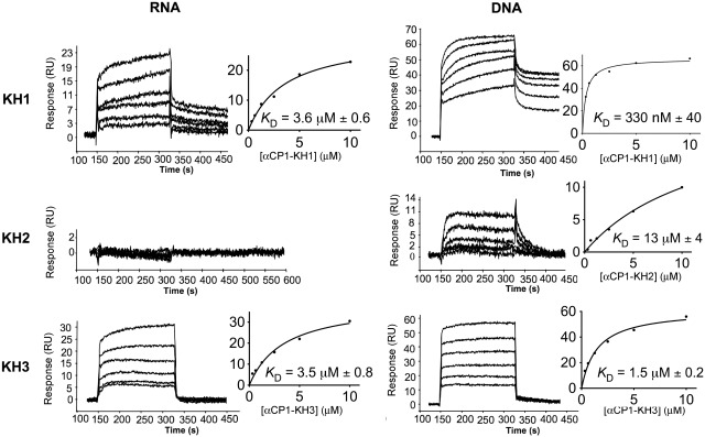 Binding analysis of separate KH domains of αCP1 to target RNA and DNA using SPR. Sensorgrams of αCP1 KH1, KH2 and KH3 binding to biotinylated mRNA (5′-CUCUCCUUUCUUUUUCUUCUUCCCUCCCUA-3′) representing nucleotides 3296–3325 of androgen receptor mRNA (flow cell 2) and biotinylated DNA (5′-CTCTCCTTTCTTTTTCTTCTTCCCTCCCTA-3′) analogous to the above RNA sequence (flow cell 3) captured on SA-coated sensor chips at a range of protein concentrations are shown. Binding curves, derived from the approximated steady state binding of the proteins, were used to determine equilibrum dissociation constants ( K D s). Errors are standard errors arising from fits.