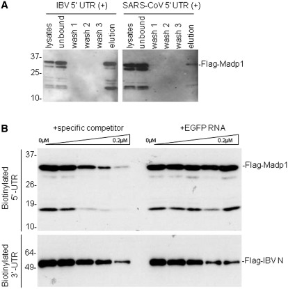 MADP1 interacts specifically with IBV 5′-UTR. (A) Interaction of MADP1 with SARS-CoV and IBV 5′-UTR in a biotin-RNA pull-down assay. Total cell lysates prepared from H1299 cells over-expressing Flag-tagged MADP1 were mixed with 0.1 µM of biotinylated IBV and SARS-CoV 5′-UTR, respectively, followed by addition of streptavidin agarose beads. Unbound complexes to the beads were subsequently removed by washing and complexes that remained bound to the beads were eluted with gel loading buffer. All fractions and elute were resolved by SDS–PAGE and probed with antibody to Flag tag. (B) Competition assay for the specificity of interaction between MADP1 and IBV 5′-UTR. Total cell lysates prepared from H1299 cells over-expressing Flag-tagged MADP1 was added to mixtures of 0.1 µM biotinylated IBV 5′-UTR RNA and varying concentrations of unlabeled IBV 5′-UTR or EGFP RNA. Streptavidin agarose beads were added and treated under conditions identical to (A). Total cell lysates prepared from cells over-expressing Flag-tagged IBV N protein were added to mixtures of a fixed concentration of biotinylated IBV 3′-UTR RNA and unlabeled IBV 3′-UTR or EGFP RNA and subjected to the same treatment.
