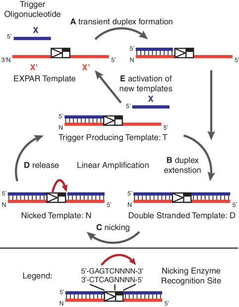 Overview of the EXPAR: ( A ) Trigger X transiently binds to the complementary recognition sequence at the 3′-end of the amplification template; ( B ) the trigger sequence is extended by the DNA polymerase, forming the double-stranded nicking enzyme recognition site 5′-GAGTCNNNN-3′ on the top strand; ( C ) the top strand is cleaved through the nicking endonuclease Nt.BstNBI; ( D ) at the temperature of the reaction (55°C), the newly formed trigger is released from the amplification template. The trigger-producing form of the amplification template re-enters the linear amplification cycle, and new trigger oligonucleotides are generated through duplex extension, nicking, and release; ( E ) the newly formed trigger oligonucleotides activate additional template sequences, giving rise to exponential amplification of the trigger X.