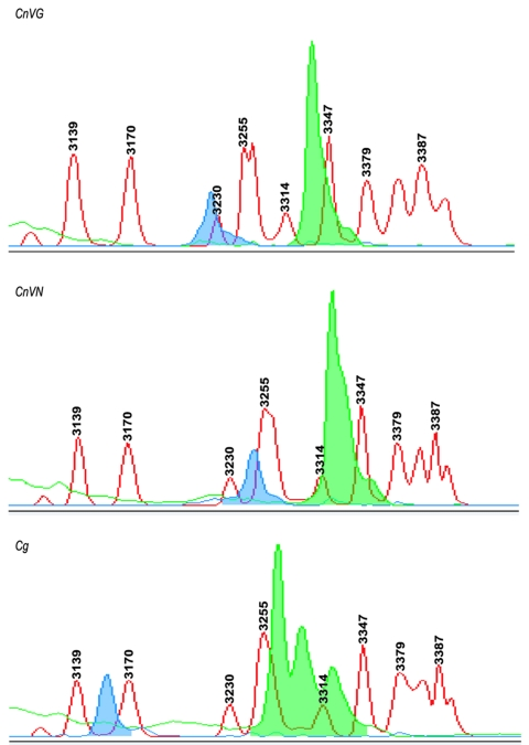 Capillary electrophoresis–single strand conformation polymorphisms (CE-SSCP) for the identification of varieties and species. The ABI PRISM 310 Genetic Analyzer and GeneScan analysis software were used for variety and species determination with the MFα1 pheromone gene. The MFα1 sense and antisense primers were labeled with fluorescent probes FAM (blue) and TET (green), and polymerase chain reaction amplicons were analyzed with 3% polymer at 30°C under nondenaturing conditions. The blue and green peaks depict characteristic peak pattern for Cryptococcus neoformans var. grubii (CnVG), Cryptococcus neoformans var. neoformans (CnVN), and Cryptococcus gattii (Cg). These peaks were aligned by using an internal size standard.