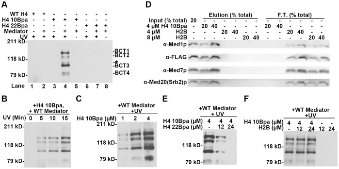 H4 10 Bpa has four specific cross-linking targets within Mediator. (A) SDS-PAGE blot probed with streptavidin poly-HRP to detect biotinylated peptide cross-linked to Mediator subunits. WT H4, H4 10 Bpa and H4 22 Bpa (4 µM) were incubated in the presence or absence of the WT Mediator complex (∼7.5 nM) and exposed to UV for 15 min when indicated. Cross-linking products were resolved on 6% SDS-polyacrylamide gel, transferred to to PVDF, detected by streptavidin poly-HRP, and referred to as BCTs (H4 10 B pa C ross-linking T argets). A weak band with relatively poor reproducibility was asterisked. (B) SDS-PAGE blot probed with streptavidin poly-HRP to detect biotinylated H4 10 Bpa peptide cross-linked to Mediator subunits after different UV exposure times. Identical mixtures, which contain 7.5 nM Mediator complex and 4 µM H4 10 Bpa, were exposed to UV for 0, 5, 10 or 15 min. (C) SDS-PAGE blot probed with streptavidin poly-HRP to detect biotinylated H4 10 Bpa peptide cross-linked to Mediator subunits in reactions with varient H4 10 Bpa concentration. WT Mediator complex (∼7.5 nM) was incubated with 1 µM, 2 µM or 4 µM H4 10 Bpa peptide and exposed to UV irradiation for 15 min. (D) Western blot analysis of histone tail peptide binding experiment comparing Mediator binding affinity for H4 10 Bpa and H2B tail peptide under the identical concentrations to the cross-linking reactions. WT Mediator complex (∼3 nM) was mixed with H4 10 Bpa (4 µM) or synthetic biotinylated histone H2B N'-tail peptide (4 µM or 8 µM) as the inputs. The basic steps and layout of the analysis were as described earlier ( Fig. 1 ). (E) and (F) SDS-PAGE blot probed with streptavidin poly-HRP to detect biotinylated H4 10 Bpa peptide cross-linked to Mediator subunits, after H4 22 Bpa (E) or H2B tail peptide (F) was added at the indicated concentration.