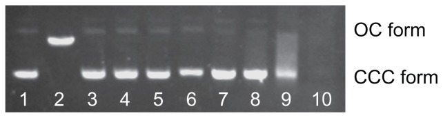 Effect of Cd 2+ or MAA on the configuration of plasmid DNA. Notes: Electrophoresis in 1% agarose gel of pUC18 DNA (150 ng per sample) incubated for 12 hours at 4°C in the dark with increasing concentrations of Cd 2+ or with increasing concentrations of MAA. Lane 1: pUC18 DNA only; lane 2: pUC18 DNA digested by Hin d III; lanes 3–6: pUC18 DNA incubated with 0.5, 5, 50, 500 μmol/L Cd ions; lanes 7–10: pUC18 DNA incubated with 0.05, 0.5, 5, 50 mmol/L MAA. DNA smear caused by MAA was observed in lanes 8–10, and the pUC18 plasmid DNA in lane 10 was completely degraded by MAA. Abbreviations: OC, opened circular; CCC, covalently closed circular; MAA, mercaptoacetic acid.