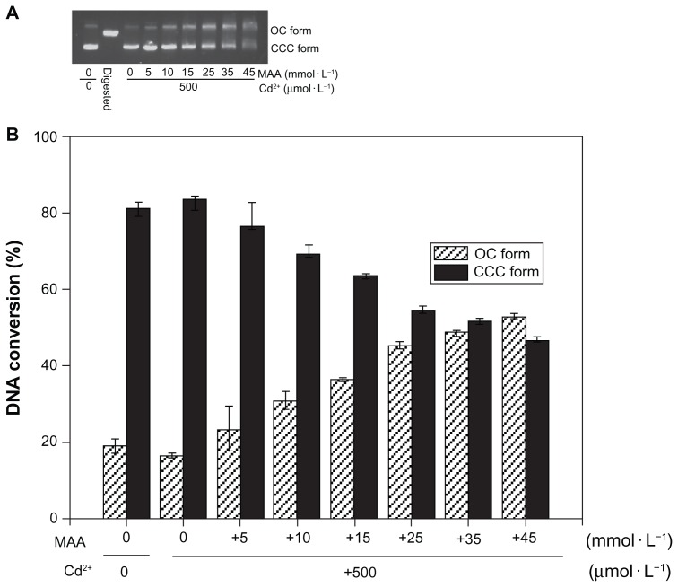 Co-effect of Cd 2+ and MAA on the configuration of plasmid DNA. ( A ) Electrophoresis in 1% agarose gel of pUC18 DNA (150 ng per sample) incubated with Cd 2+ in the presence of increasing MAA concentrations for 12 hours at 4°C in the dark. Lane 1: pUC18 DNA only; lane 2: pUC18 DNA digested by Hin d III; lanes 3–9: pUC18 DNA incubated with mixtures of Cd 2+ (500 μmol/L) and 0, 5, 10, 15, 25, 35, 45 mmol/L MAA. ( B ) Scanning densitometry results of three replicate experiments for each sample, with the error bars representing the standard deviations. Abbreviations: OC, opened circular; CCC, covalently closed circular; MAA, mercaptoacetic acid.