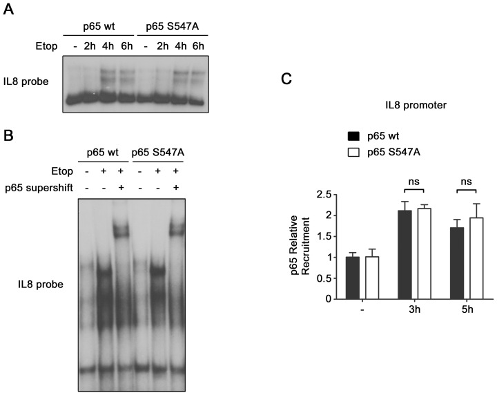 Identical binding of wt and S547A mutated p65 to IL8 κB site. ( A ) NF-κB binding to IL8 promoter, in HEK-293 cells expressing either p65 wt or p65 S547A , non-treated or treated with etoposide, was analyzed by EMSA with a probe corresponding to the κB site of IL8 promoter. ( B ) The presence of p65 protein in the binding complex observed in ( A ) was analyzed by supershift with p65 antibody. ( C ) Recruitment of p65 on IL8 promoter was measured by p65 ChIP assay in HEK-293 cells expressing either p65 wt or p65 S547A , and treated with etoposide for the indicated periods. ns, non significantly different.