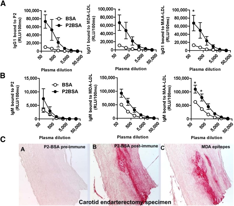 MDA mimotope immunization induces MDA-specific Ab responses. (A, B) ELISA for the binding of plasma Abs of immunized mice to MDA-LDL, MAA-LDL, and P2. C57BL/6 mice were immunized with P2-BSA (n = 3) or BSA (n = 3) as described in Materials and Methods. Dilution curves of IgG1 and IgM binding to indicated antigens in pre- and postimmune plasma was determined by chemiluminescent ELISA. (A) Dilution curve of IgG1 binding. (B) Dilution curve of IgM binding. Values are given as relative light units (RLU) per 100 ms and represent the mean ± SEM of each group. (C) Immunohistochemical staining of human carotid endarterectomy specimens. Sections were stained with pooled preimmune (A) or postimmune plasma (B) of P2-BSA-immunized mice or with the MDA-LDL-specific mAb MDA2 (C). Positive staining is indicated by red color, and nuclei are counterstained with hematoxylin.