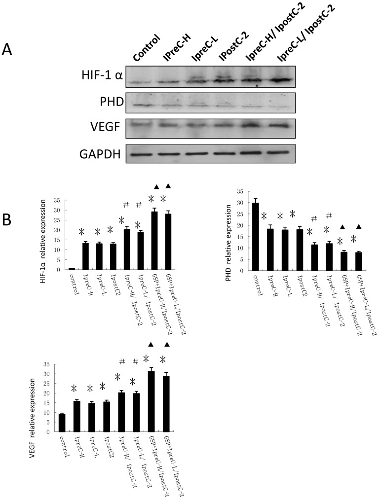 Effect of pre- and postconditioning on the expression level of HIF-1 alpha, PHD and VEGF. Whole cell extracts made from mouse liver were separated on SDS- page gel. HIF-1 α , PHD, VEGF and GAPDH protein level were determined by immunblotting with the specific antibodies against the proteins listed on the right. GAPDH was used as a loading control. Effect of GSP on the expression level of HIF-1 alpha, PHD and VEGF. (mean ±s, n=7). HIF-1 α , PHD, VEGF and GAPDH mRNA level were determined by Real-Time PCR. (* indicate P