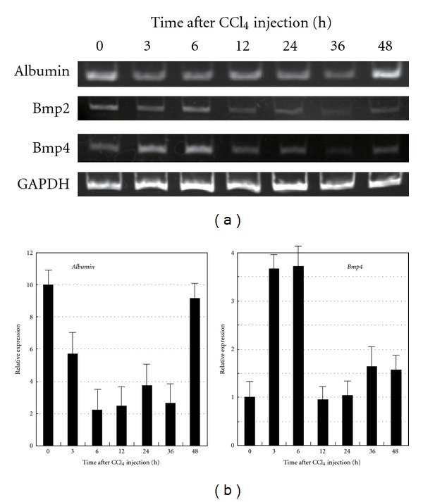 Time course of gene expressions in the liver of mice treated with CCl 4 . (a) RT-PCR analyses of BMP2, BMP4 and albumin were performed using the primer sets shown in Section 2 . Albumin expression is decreased at 3–36 h and recovers at 48 h. BMP4 is transiently expressed at 3–6 h after CCl 4 injection. (b) Real-time PCR analyses of albumin and BMP4 were performed using primer sets and TaqMan probes provided by Applied Biosystems Co. All data are shown as the means ± SE from three independent experiments.