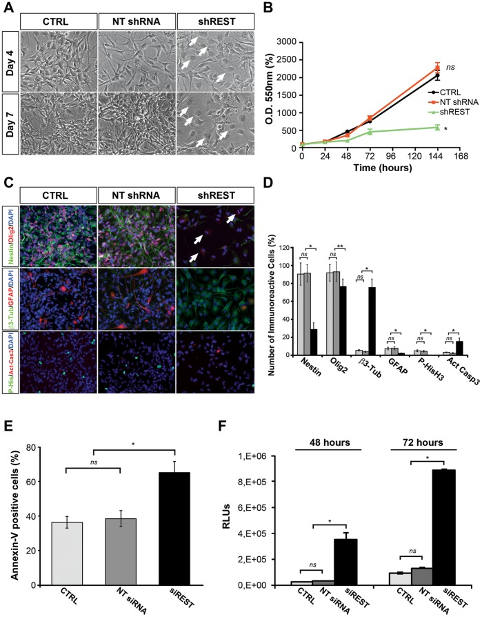 REST knockdown reduces self-renewal potential of human tumorigenic-competent GBM cells and induces neuronal differentiation and cell death programs. (A) Representative live image of GB7 cells maintained in self-renewal conditions, 4 and 7 days after REST shRNA knockdown (shREST) and relative controls (CTRL: mock infected cells; NT shRNA: non targeting shRNA). REST knockdown causes reduction of proliferation and dramatic morphological changes, with appearance of a large proportion of flat and differentiated cells (arrows). (B) Colorimetric MTT-based cell viability assay performed on controls and shREST GB cell cultures. (C) Immunofluorescent analyses of controls and shREST self-renewing GB7 cells (7 days post infection). There is an evident reduction in the expression of neural progenitor (Nestin) and proliferation (P- HisH3) markers in shREST cells with respect to controls, with a parallel increase of neuronal differentiation (β3-tubulin) and apoptosis (Activated Caspase 3) markers. (D) Relative quantification of the numbers of immunoreactive cells in (C). CTRL: light gray bars; NT shRNA: dark gray bars; shREST: black bars. At least 700 cells per group were scored. (E) Detection of apoptosis on REST depleted GB cells. Seven days after siRNA transfection, the percentages of apoptotic GB7 cells in the cultures were analysed by FACS Annexin V–PE assay. (F) Luminometric detection of apoptosis on REST depleted GB cells. 48 and 72 hours after siRNA transfection, apoptosis in controls and siREST treated GB7 cells was analysed by Caspase-Glo 3/7 Assay. Data were analyzed by one-way ANOVA comparison of the controls groups and of the REST knockdown cultures. Results shown are relative to three independent experiments. Data are means ± s.d. ns not significant, * P