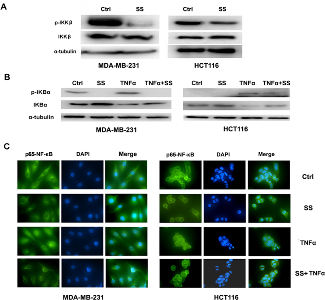 SS prevents the translocation of NF-κB through inhibiting the phosphorylation of IKKβ and IκB (A)The Western blot assay showed the phosphorylation of IKKβ is decreased in both MDA-MB-231 and HCT116 cells in response to SS treatment. (B) The Western blot assay showed that the decline of phosphorylated IκBα versus the accumulation of IκBα when MDA-MB-231 and HCT116 cells were treated by SS. TNFα (25 ng/ml for 20 min) was used to stimulated the expression of nuclear NF-κB. (C) NF-κB immunofluorescence of MDA-MB-231 and HCT116 cells. The conditions were as follows: (1) control; (2) treatment with 50 µM SS for 12 h; (3) treatment with 25 ng/ml TNFα for 20 min; and (4) both TNFα and SS treatments. The green (anti-NF-κB) indicates NF-κB distribution, and blue indicates the location of the nucleus.