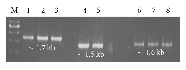 PCR amplification of HA, NA and NP, genes of pcDNA3.1 vector from transfected S. typhimurium . M = 100 bp marker (Fermentas, Germany) lane 1–3 = HA; 4-5 = NA; 6–8 = NP.
