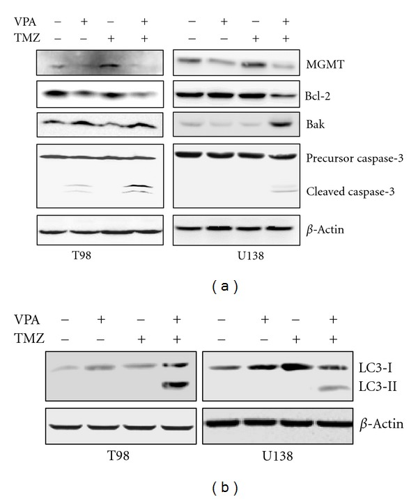 Induction of apoptotic and autophagic cell death in TMZ-resistant glioma cells by VPA and TMZ combination. T98 and U138 cells were untreated or treated with VPA, TMZ, or their combination. (a) The expression of MGMT, Bcl-2, Bak, and caspase-3 was evaluated using western blotting. (b) Conversion of LC3-I to LC3-II was also determined by western blotting.  β -actin was used as a loading control. The results are representative of three independent experiments.