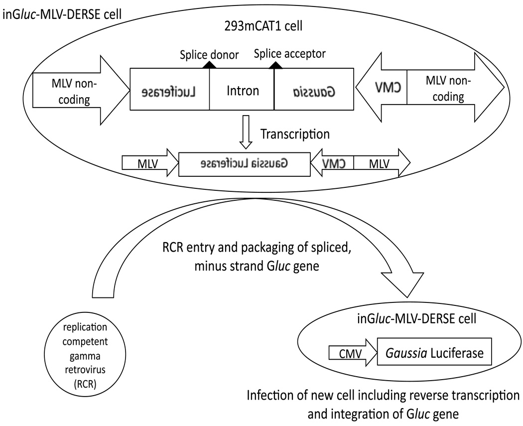 Schematic of inG luc -MLV-DERSE assay The inG luc -MLV-DERSE plasmid consists of a Gaussia Luciferase (G luc ) sequence oriented in a reverse direction with respect to flanking MLV non-coding sequences. Within the non-coding G luc sequence is an intron that is oriented in a forward direction relative to the viral non-coding regions (and can be spliced by the host cell). The plasmid is maintained in 293mCAT1 cells. In the absence of RCR, only minus-strand, spliced G luc sequences are present in the cell. An RCR that infects the DERSE cell can package the RNA containing the minus-strand G luc sequence. In the next round of infection reverse transcription of the encapsidated RNA produces a double-stranded DNA containing an uninterrupted G luc gene. This gene is an intact, coding G luc sequence that is subsequently integrated into the DNA of, and expressed by, the newly infected cell. Expression of G luc is under the control of the cytomegalovirus (CMV) promoter.