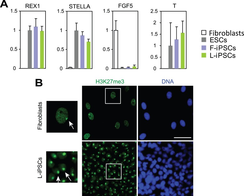 Characterization of L-iPSCs by using gene expression analyses and immunofluorescence staining of H3K27me3. (A) Quantitative RT-PCR analysis of genes that are typically expressed in mouse naïve ( REX1 and STELLA ) or primed ( FGF5 and T ) pluripotent stem cells. Expression levels of each gene were normalized to GAPDH. The normalized value for ESCs was defined as 1.0. Mean + SD obtained from three independent experiments are shown. (B) Immunofluorescence staining of H3K27me3 as an indicator for X chromosome inactivation. Parent fibroblasts were stained as a positive control. Nuclei surrounded by squares were magnified (left panels). Arrows indicate H3K27me-positive areas, corresponding to inactive X chromosomes. Bar, 50 µm.