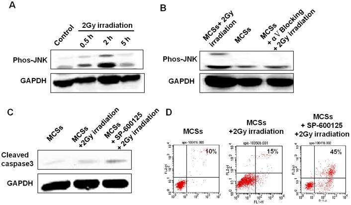 Molecular response of αV integrin mediate radioresistance in MCSs. A:  Time-course level of phosphorylated JNK in presence of irradiation.  B:  The level of phosphorylated JNK 2 hrs after irradiation.  C:  The level of cleaved caspase 3 in MCSs treated with or without SAPK/JNK pathway inhibitor SP-600125.  D:  Apoptosis in MCSs treated with or without SAPK/JNK pathway inhibitor SP-600125.