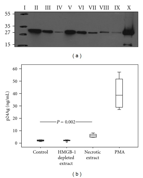 HMGB1 present in necrotic extract induces HIV-1 replication in U1 cells. (a) Western blot of cell supernatants (necrotic extracts) obtained after freeze-thawing cycles of peripheral blood mononuclear cells (PBMC) (30 × 10 6 cells/mL) from healthy donors: Molecular weight marker (I); supernatants after immune depletion of HMGB1 with nonspecific rabbit polyclonal antibody (II); depletion with anti-HMGB1 antibody −5 μ g (III) and 10 μ g (IV); necrotic extract loaded 20 μ L (V), 10 μ L (VI), and 5 μ L (VII); 100 ng (VIII) and 75 ng (IX) of recombinant HMGB1; cell debris (X). Numbers to the left depict positions of molecular mass markers (in kDa). (b) Levels of HIV p24 protein in cell culture supernatants after 72 h incubation of U1 cells with necrotic extract (HMGB1 concentration 1 μ g/mL): HMGB1-depleted necrotic extract and mock cells. PMA served as a positive control (20 nM). The lev els of viral replication were approximately 2-fold higher after stimulation by necrotic extract compared to the mock cells ( P = 0.002). Results from three independent experiments in duplicates are presented.