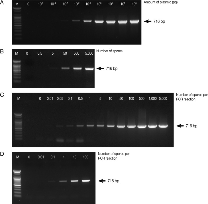 Determination of the detection limit of conventional PCR using AccuPower™ PCR PreMix system. Four µl of PCR products were loaded on 1% agarose gels and ethidium bromide-stained specific PCR bands were visualized using a UV-transilluminator. PCR was carried out using various concentrations of the full-length 18S rRNA gene-harboring plasmid pKitauei (A), the suspension containing different number of spores (B), genomic DNA purified from isolated spores (C) and genomic DNA from the various numbers of spore-spiked tissues (D) as templates. M: 100 bp ladder from Bioneer.co.kr