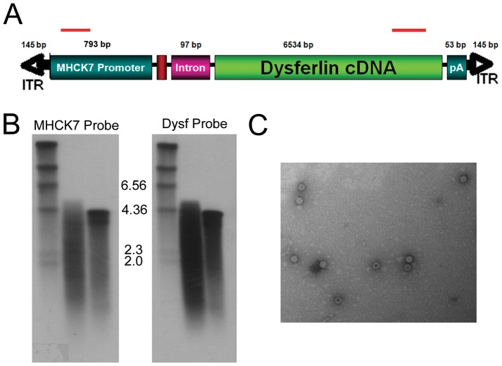 "Analysis of genomes isolated from rAAV5.DYSF. DNA was isolated from rAAV5.DYSF vector preparation and used for Southern blot and PCR analysis. (A) Schematic of rAAV5.DYSF cassette. Strand specific hybridization probes used for Southern blot analysis are indicated by red bars. (B) Southern blot analysis of rAAV5.DYSF genomic DNA with 5′ MHCK7 probe (lane D, left side) and 3′ dysferlin probe (Lane D, right side). A 4.2 kb control vector genome was used as a standard for packaging (C in each blot). ""M"" denotes marker lane. (C) Electron microscopy of rAAV5 vector prep revealed virions with normal morphology."