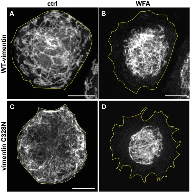 Cysteine-328 is not required for the effects of WFA on VIF. SW13-1HF5 cells which are null for cytoplasmic IF, were transfected with wild-type vimentin (A) and vimentin C328N (C). The cells were then treated for 3 hrs with DMSO (A and C) or 9 μM WFA (B and D). Scale bars =10 μm.
