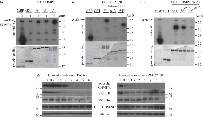 Aurora B phosphorylates CHMP4C in vitro and in vivo . ( a ) GST-tagged CHMP4 proteins, GST alone or the positive control MBP (myelin basic protein) were incubated with (+) or without (−) recombinant Aurora B in the presence of [γ- 32 P] ATP. The reactions were then separated by SDS-PAGE, and gels stained with Coomassie Blue, dried and exposed at −80°C. The Coomassie Blue staining of the protein loading is shown at the bottom. Note that Aurora B is auto-phosphorylated and co-migrated with GST::CHMP4B. The numbers on the right indicate the sizes (kDa) of the molecular mass marker. ( b ) GST-tagged full-length CHMP4C (FL), GST-tagged N-terminal CHMP4Cα12, GST-tagged C-terminal CHMP4Cα345, GST alone and the positive control MBP were incubated with (+) or without (−) recombinant Aurora B in the presence of [γ- 32 P] ATP. Products of the reactions were then separated by SDS-PAGE and the gels stained with Coomassie Blue, dried and exposed at −80°C. The Coomassie Blue staining of the protein loading is shown at the bottom. The numbers on the right indicate the sizes (kDa) of the molecular mass marker. ( c ) GST-tagged wild-type CHMP4Cα345 (WT), the two GST:: CHMP4Cα345 variants containing S to A mutations at position 210 (S210A) or at position 210, 214 and 215 (StripleA), GST alone and the positive control MBP were incubated with (+) or without (−) recombinant Aurora B in the presence of [γ- 32 P] ATP. Products of the reactions were then separated by SDS-PAGE and the gels stained with Coomassie Blue, dried and exposed at −80°C. The Coomassie Blue staining of the protein loading is shown at the bottom. The numbers on the right indicate the sizes (kDa) of the molecular mass marker. ( d ) HeLa cells were transfected with GFP::CHMP4C, synchronized in metaphase with thymidine/nocodazole block and then released into medium containing either ZM447439 or its solvent DMSO as control. Proteins were extracted, separated by SDS-PAGE, transferred onto PVDF membranes and analysed by Western blot to detect the variant of CHMP4C phosphorylated at serine 210, 214 and 215 (phospho-CHMP4C), cyclin B, Borealin, GFP::CHMP4C and tubulin as loading control. The numbers indicate the sizes (kDa) of the molecular mass marker.