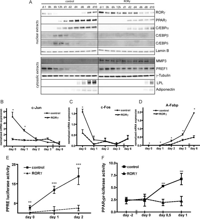 RORγ inhibits expression and activity of differentiation genes A. Western blot of nuclear extracts (RORγ, PPARγ, C/EBPα, C/EBPβ and C/EBPδ) or cytosolic extracts (MMP3, PREF-1, LPL and Adiponectin) during differentiation of 3T3-L1 cells overexpressing RORγ or empty vector. Differentiation without rosiglitazone was induced at time point 0 h. Lamin B and γ-Tubulin were used as loading controls. B,C,D. qPCR for the adipogenic genes c-Jun, c-Fos and A-Fabp during differentiation of 3T3-L1 cells overexpressing RORγ or empty vector ( n = 4). E. Firefly luciferase activity of the PPARγ response element (PPRE) normalized to renilla luciferase before, 1 and 2 days after induction of differentiation in 3T3-L1 cells overexpressing RORγ or empty vector ( n = 4). F. Firefly luciferase activity of PPARγ promoter normalized to renilla luciferase in 3T3-L1 cells overexpressing RORγ or empty vector during differentiation at indicated time points ( n = 8). The results shown are representative of three independent experiments. Values represent means ± SD, * p ≤ 0.05, ** p ≤ 0.01 and *** p ≤ 0.001.