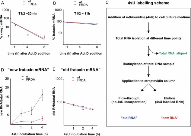 Synthesis but not decay rate of FXN mRNA is different in wild type and FRDA cells Decay kinetics of c-myc mRNA. FXN mRNA decay rate is similar in WT (GM15851) and FRDA (GM15850) cells. (A, B) WT (GM15851) and FRDA (GM15850) cells were treated with Actinomycin D (10 µg/ml) and total RNA was isolated at the indicated time-points. Relative changes in c-myc or FXN mRNA levels were analysed by qRT-PCR and the data were normalized to 18S rRNA. 4-thiouridine (4sU) labelling scheme. Synthesis rates for FXN mRNA in 4sU labelled wild type and FRDA cells are different. The values for biotinylated RNAs were normalized to total RNA Similar decay rates for FXN mRNA in wild type and FRDA cells. The values for unlabelled RNAs were normalized to total RNA.