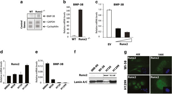 Runx2 deficient mice have higher levels of BMP-3B. (a) Total <t>RNA</t> from mesenchymal cells of calvarial tissue from wild type and Runx2 -/- (17.5 dpc) was hybridized with osteogenesis-related <t>cDNA</t> array. Signal of BMP-3B on blots is indicated by an arrow. Control genes (GAPDH, cyclophilin A) are shown in lower panel. ( b ) BMP-3B mRNA levels (normalized to GAPDH) in calvarial mesenchymal cells from wild type (WT) and Runx2 -/- animals as detected by qRT-PCR analysis. ( c ) Primary calvarial cells from Runx2 deficient animals were transduced with empty vector (EV) or Runx2 expressing adenovirus with increasing multiplicity of infection (MOI 10 and 20) for 48 hr. Total RNA isolated from the infected cells was utilized to examine BMP-3B mRNA as detected by qRT-PCR analysis. ( d ) Runx2 mRNA expression levels were examined by qRT-PCR and the gene expression levels were normalized to 28S internal control. The gene expression levels were calibrated to IMR-90 cells. ( e ) BMP-3B mRNA expression levels were examined by qRT-PCR and the gene expression levels were normalized to 28S internal control. The BMP-3B gene expression levels were calibrated to Runx2 levels in IMR-90 cells. ( f ) Runx2 protein levels were examined in nuclear extracts of normal lung fibroblast cells (IMR-90 and WI-38) and lung cancer cell lines (H720 and H1299) by immunoblotting with Runx2 monoclonal antibody. Runx2 expression levels were normalized to internal control LaminA/C protein. ( g ) Runx2 intracellular localization was determined by immunofluorescence of endogenous Runx2 protein in WI-38 and H1299 cells. The punctate (Alexa 488, green) signal shows Runx2 staining while nuclei are revealed by 4, 6-diamidino-2-phenylindole (DAPI, blue) staining.