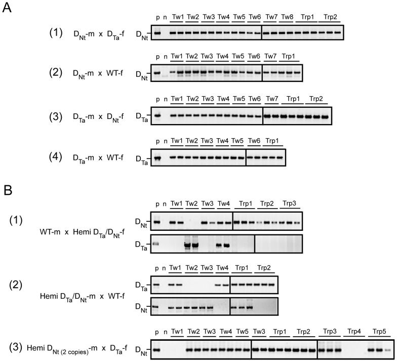 Analysis of the genetic relationship among twin and triplet progeny. (A) Inheritance of the D Ta or D Nt transgenes when transmitted through pollen (m) or egg (f) homozygous for the transgene. Inheritance of the D Nt transgene in twin (Tw) and triplet (Trp) progeny from D Nt pollen (D Nt -m) when used to fertilize (1) D Ta or (2) WT flowers (WT-f). Inheritance of the D Ta transgene in twin and triplet progeny from D Ta pollen (D Ta -m) when used to fertilize (3) D Nt or (4) WT flowers. (B) Inheritance of the D Ta or D Nt transgenes when transmitted through pollen (m) or egg (f) hemizygous for each transgene. (1) Inheritance of the D Nt and D Ta transgenes in twin and triplet progeny from eggs hemizygous for the D Ta and D Nt transgenes (D Ta /D Nt -f) when fertilized by WT pollen (WT-m). (2) Inheritance of the D Nt and D Ta transgenes in twin and triplet progeny from pollen hemizygous for the D Ta and D Nt transgenes (D Ta /D Nt -m) when used to fertilize WT flowers. (3) Inheritance of the D Nt transgene in twin and triplet progeny from pollen hemizygous for D Nt transgene present in 2 copies in the genome (D Nt(2 copies) -m) when used to fertilize D Ta flowers (D Ta -f). p: PCR of tobacco containing the appropriate DHAR transgene to serve as a positive control. n: PCR of wild type tobacco to serve as a negative control.
