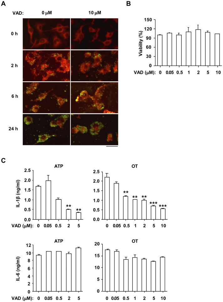 IL-1β secretion induced by O. tsutsugamushi infection in LPS-primed BMDMs was blocked by pan-caspase inhibitor. LPS-primed BMDMs were pretreated with pan-caspase inhibitor Z-VAD-FMK (VAD) at the indicated concentration for 1 h and then challenged with ATP (5 mM) for 3 h or OT (A. ICU/cell=10; B,C. ICU/cell=50) for the indicated period (A) or 6 h (B, C). (A) Cells were fixed and stained with human antiserum against OT and a <t>FITC-conjugated</t> goat anti-human <t>IgG</t> antibody, and examined using a fluorescence microscope. Green spots indicate OT and red areas indicate the host cell. Scale bar, 50 µm. (B) Cell viability was measured by MTT assay. (C) The production of IL-1β and IL-6 was assessed by ELISA. Error bars represent SD of triplicate samples. **p