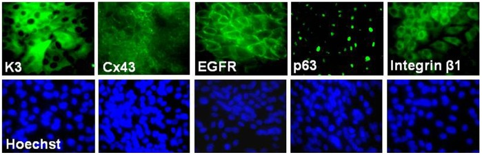Representative immuno-fluorescent staining profiles for corneal epithelial phenotype. Corneal epithelial markers, including the differentiation markers, keratin 3 (K3), and connexin 43 (Cx43), as well as progenitor markers, EGFR, nuclear p63 and integrin β1, were expressed by HLE regenerated on human feeder of Hs68 fibroblasts; Hoechst 33342 was used for nuclear counterstaining.