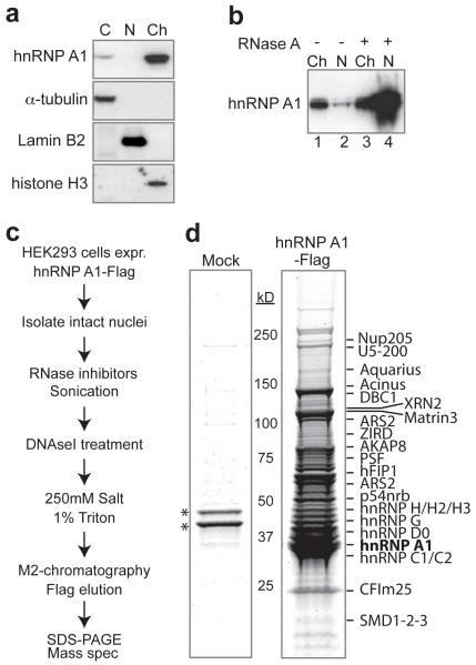 Purification of nascent nuclear mRNP particles ( a ) Western of cytoplasmn (C), nucleoplasmn (N), and chromatin (Ch), with α-tubulin, lamin B2, and histone H3 as controls for different fractions. ( b ) Fractionation as in (a), but RNAse A added to the nuclear lysis buffer where indicated. ( c ) Purification procedure outline. ( d ) Equal amount of the M2 chromatography eluates from control (Mock) and A1-Flag separated by 4-12% SDS-PAGE, stained with Sypro ruby. Arrow indicates A1-Flag, and asterisks mark RNAse inhibitor proteins. Some identified proteins indicated on the right.