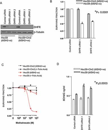 Methotrexate treatment selection for MSH2 deficient cells is via inhibition of folate synthesis Western blot analysis of DHFR siRNA silencing. Cells were transfected with either control siRNA or two different DHFR siRNAs. Protein lysates were immunoblotted and probed for DHFR and β-tubulin (loading control). Silencing of DHFR is selective for MSH2 deficient cells. Survival bar chart is shown of Hec59 + Chr2 and Hec59 transfected with siRNA oligonucleotides targeting DHFR. * p ≤ 0.0001 compared to the similarly transfected MSH2 proficient Hec59 + Chr2 cells (Student's t -test). Error bars represent standard errors of the mean. Folic acid rescues methotrexate selectivity in MSH2 deficient cells. Survival curves are shown of Hec59 and Hec59 + Chr2 cells under continuous exposure to a range of concentrations of methotrexate ± 100 µM folic acid for 14 days. Error bars represent standard errors of the mean. DHFR silencing causes an accumulation of 8-OHdG accumulation. Hec59 and Hec59 + Chr2 cells were transfected with control or DHFR siRNA and DNA analysed for 8-OHdG content as before. A bar chart showing relative levels of 8-OHdG in each cell line is shown. Assays were performed in triplicate. * p ≤ 0.0003 compared to the similarly transfected MSH2 proficient Hec59 + Chr2 cells (Student's t -test). Error bars represent standard errors of the mean.