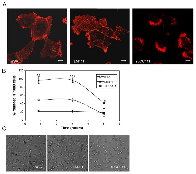 Morphology of HT1080 cells cultured on tissue culture plates coated with BSA, intact LM111 or rLCC111 (10 mg/ml). Cells were allowed to attach for 6 hours, followed by fixation and staining with Alexa Fluor 594 phalloidin (A). Scale bar is 10 µm. Spread and non-spread cells were counted and percentages of non-spread cells are indicated (B). Spread cells were defined as large cells with extensive visible lamellipodia, whereas non-spread cells were defined as round cells with little or no membrane protrusions. Spread and non-spread cells were counted in four high-power fields and represented as mean±SD for each condition and time point. The data were evaluated by t test and were considered to be statistically significant when p ≤0.05. (*, p