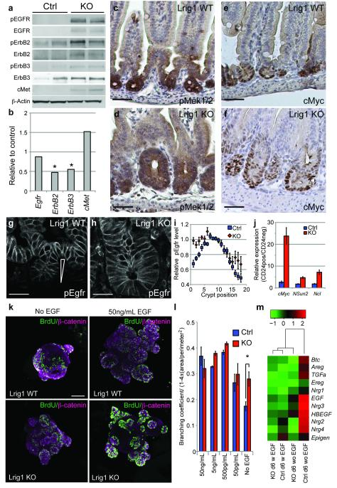 Lrig1 controls endogenous signalling via the ErbB pathway a) Loss of Lrig1 causes increased protein levels and activation of the ErbB pathway. pEgfr, Egfr, pErbB2, ErbB2, pErbB3, ErbB3, cMet were detected by Western blotting in samples enriched for intestinal epithelium. β-actin is used a loading control. b) Relative expression analysis of the receptors by qPCR at P10 shows minor differences. Expression levels are shown relative to control samples (KO/Ctrl). Asterisks indicate significant changes ( ErbB2 : p=0.004; ErbB3 : p=0.04; KO n=4, Ctrl n=3). c-f) Increased activation of MAPK signalling and cMyc signalling upon loss of Lrig1. Immunohistochemical analysis for p-MEK1-2 (c-d) and cMyc (e-f). g-i) Altered Egfr activation dynamics upon loss of Lrig1 KO. i) Average normalised membrane intensity of pEgfr in intestinal samples from KO (n=6) and control animals (n=10) for 6-18 individual crypts per sample. Error bars represent the s.e.m. (positions 1-4: p