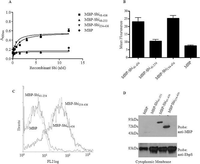 Binding of MBP–Sbi 41–436 , MBP–Sbi 41–253 and MBP–Sbi 254–436 to whole cells of Newman Spa - Sbi - . A. Binding of MBP–Sbi 41–436 , MBP–Sbi 254–436 MBP–Sbi 41–253 and MBP to wells coated with whole Newman Spa - Sbi - cells. Recombinant protein binding was detected with HRP-conjugated anti-MBP IgG. Binding assay was preformed n = 3 times with similar results. The graph shown is a representative of one experiment with each plot in the graph representing the average of duplicate wells. B. Washed whole cells of Newman Spa - Sbi - were incubated with 0.5 µM MBP–Sbi 41–436 , MBP–Sbi 254–436, MBP–Sbi 41–253 and MBP followed by mouse anti-MBP antiserum and FITC-labelled rabbit anti-mouse IgG. Fluorescence intensity was measured by flow cytometry. The assay was preformed n = 3 times. Each plot on the graph represents the average value for all three replicas. Error bars show the standard deviation. C. A representative flow cytometry trace of recombinant Sbi derivatives binding to Newman Spa - Sbi - . D. Recombinant MBP–Sbi 41–436 , MBP–Sbi 254–436 MBP–Sbi 41–253 and MBP were incubated with whole cells of Newman Spa - Sbi - and fractionated. Cytoplasmic membrane fractions were analysed by Western blotting with HRP-conjugated anti-MBP IgG or rabbit anti-EbpS IgG followed by HRP-conjugated protein A. All immunoblotting experiments were repeated n = 3 times.