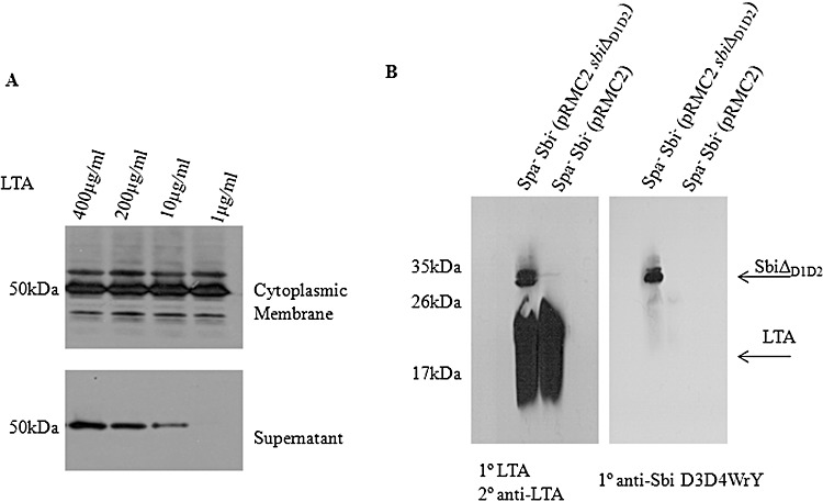 Analysis of the Sbi–LTA interaction. A. Displacement of Sbi from the cytoplasmic membrane by soluble LTA. Newman Spa - cytoplasmic membrane was incubated with increasing amounts of S. aureus LTA (0–400 µg ml −1 ). Sbi bound to the cytoplasmic membrane or released into the supernatant was detected using rabbit anti-Sbi D3D4WrY IgG followed by HRP-conjugated goat anti-rabbit IgG. B. Far Western blotting of S. aureus cytoplasmic membrane fractions with LTA. Newman Spa - Sbi - and Newman Spa - Sbi - (pRMC2- sbi Δ D1D2 ) cytoplasmic membrane material was fractionated by SDS-PAGE, transferred to a nitrocellulose membrane incubated with purified LTA and bound LTA was detected with anti-LTA monoclonal antibody followed by HRP-linked rabbit anti-mouse IgG. All immunoblotting experiments were repeated n = 3 times.