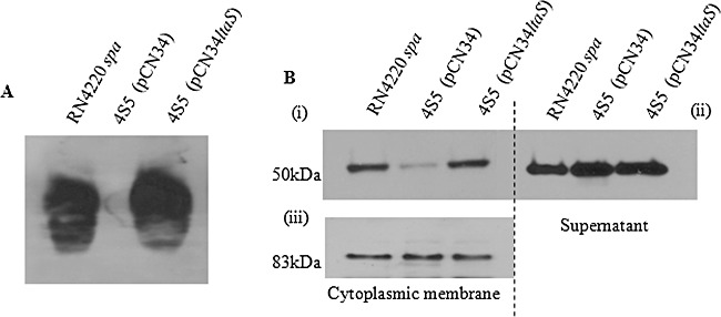 Sbi cellular location in LTA-negative strains. A. Whole-cell lysate fractions of RN4220 Spa - , 4S5 and 4S5 (pCN34- ltaS ) analysed by Western immunoblotting with monoclonal mouse anti-LTA antibodies followed by HRP-conjugated rabbit anti-mouse IgG. B. Cytoplasmic membrane and culture supernatant fractions of RN4220 Spa - , 4S5 and 4S5 (pCN34- ltaS ) analysed by Western immunoblotting with rabbit anti-Sbi D3D4WrY IgG and HRP-conjugated goat anti-rabbit IgG (i and ii) and rabbit anti-EbpS IgG followed by HRP-conjugated goat anti-rabbit IgG (iii). Blots shown are representative of three independent experiments. Densitometric analysis was carried out using ImageJ software. Integrated band densities were measured with correction of background. Values given are the mean ± the standard deviation of n = 3 experiments