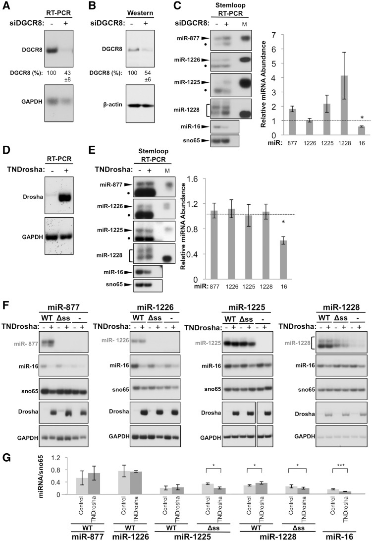 Simtron biogenesis involves Drosha but not DGCR8. Knockdown of DGCR8 in HeLa cells using siRNA was quantitated by ( A ) RT–PCR analysis of DGCR8 mRNA and ( B ) western blot analysis of DGCR8 protein expression. The percentage of knockdown of DGCR8 was quantitated for DGCR8 mRNA using the equation 100 − [(( DGCR8 knockdown / GAPDH )/( DGCR8 control / GAPDH )) × 100], n = 5 and for DGCR8 protein using the equation 100 − [(( DGCR8 knockdown /β-actin )/( DGCR8 control / β-actin )) × 100]. (C) Changes in endogenous miRNA levels following DGCR8 knockdown were analysed by stemloop RT–PCR analysis. miR-16 is a canonical miRNA control and sno65 is a loading control. Graph shows quantitation of miRNA abundance using the equation: (miRNA experimental condition /sno65)/(miRNA control /sno65). n = 4 for all miRNAs except for miR-16, n = 5; asterisk indicates P ≤ 0.05 (Wilcoxon matched pairs signed-rank test). M indicates a synthetic size marker and filled circle indicates a non-specific primer dimer. ( D ) RT–PCR analysis of Drosha mRNA following expression of TN-Drosha in HEK-293T cells. ( E ) The effect of TN-Drosha expression on endogenous miRNA abundance was analysed by stemloop RT–PCR. Graph shows quantitation of miRNA abundance using the same equation as in C, n = 6; asterick indicates P ≤ 0.05 (Student's t -test). ( F ) Stemloop RT–PCR analysis of minigene-derived miR-877, 1226, 1225, 1228 and endogenous miR-16 isolated from HEK-293T cells transiently transfected with TN-Drosha. sno65 was used as a control. TN-Drosha mRNA expression in HEK-293T cells was analysed by radiolabelled RT–PCR. GAPDH was used as a control. ( G ) Quantitation of miRNA abundance relative to sno65 using the equation: miRNA/sno65. n = 3 for miR-877, 1226 and 1225, n = 5 for miR-1228 and n = 14 for miR-16; * P ≤ 0.05, *** P ≤ 0.0001 (). Data sets were analysed using the Student's t -test with the exception of miR-16, which was analysed using the Wilcoxon matched pairs signed-rank test. In all panels,