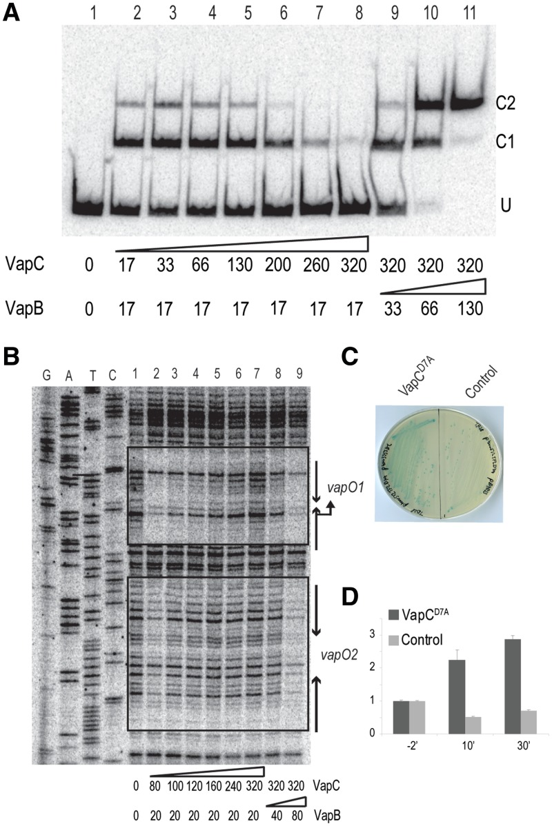 The vapBC promoter is controlled by conditional cooperativity. ( A ) Binding of VapB and VapBC complex to a vapO -encoding DNA fragment analysed by gel shifting. Purified VapB and VapC were added to a 302-bp 32 P-labelled vapO probe (lanes 1–11; numbers below the gel are in nM). Protein–DNA complexes were separated by 5% native PAGE. U denotes unbound vapO DNA and C1 and C2 VapBC O complexes. ( B ) DNase I protection assay of vapO . VapB and VapC were incubated with vapO DNA as in (A) and subsequently incubated with DNase I (lanes 1–9; numbers are pmol). A DNA sequencing ladder was generated using 5′-end labelled vapBC_EMSA_down primer. Inverted repeats sites 1 and 2 and promoter sequences are indicated by arrows. DNAse I protected bases are enclosed by boxes. ( C ) Ectopic expression of VapC D7A in vivo induces vapBC transcription. TB28 (MG1655 ΔlacIZYA ) pKW512TFZD7A ( vapBC D7A :: lacZYA ) containing either pKW3353HC (pBAD::SD opt :: vapC D7A ) or pBAD33 were streaked to single colonies on LB plates containing X-gal and 0.2% arabinose. ( D ) VapC D7A induced transcription quantified by qPCR. TB28 (MG1655 ΔlacIZYA ) pKW512TFZD7A ( vapBC D7A :: lacZYA ) with pKW3353HC (pBAD::SD opt :: vapC D7A -H6) or pBAD33 (empty vector plasmid) were grown exponentially in LB medium. At 0′, arabinose was added to induce transcription from the pBAD promoter. Samples were taken at time points indicated (min) and total RNA extracted. Fold-of-changes relative to house keeping gene rpsA mRNA were measured by quantitative RT-PCR.
