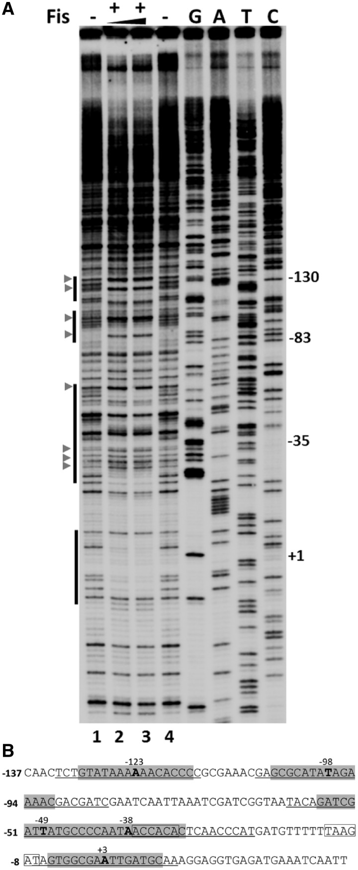 Footprinting analysis of Fis binding at P mom . ( A ) DNase I footprinting analysis of Fis binding sites in P mom .  Plasmid pUW4 was incubated with Fis (288 and 384nM in lanes 2 and 3, respectively) prior to digestion with DNase I. Primer extension was carried out with Klenow polymerase using  mom  reverse primer. The vertical bars on the left side indicate regions protected from DNase I in the presence of Fis. G, A, T and C refer to Sanger's dideoxy sequencing ladders of P mom  obtained using  mom  reverse primer. Numbers on the right denote nucleotide positions with respect to the +1 start site of P mom . DNase I hypersensitive sites are depicted by arrowheads. ( B ) Sequence of  mom  promoter. Regions protected by Fis are underlined and sequences matching with the consensus Fis binding site are highlighted with the central nucleotide emboldened and its position indicated. The −35 and −10 promoter elements are boxed.