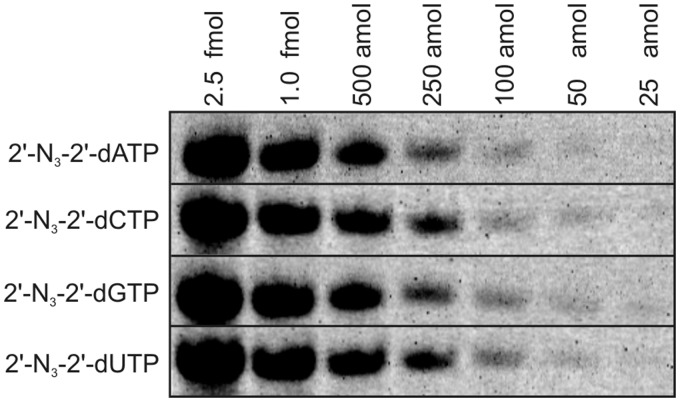 Detection limit for RNA1 modified with each of the four 2′-N 3 -2′-dNTPs and conjugated with Alexa Fluor 647 alkyne. Samples (same as in Figure 3 A) were diluted and analyzed by 12% seqPAGE in amounts from 25 amol to 2.5 fmol. Fluorescence scan (Typhoon 9400, pixel size: 100 µm, PMT: 800 V, high sensitivity) is shown.