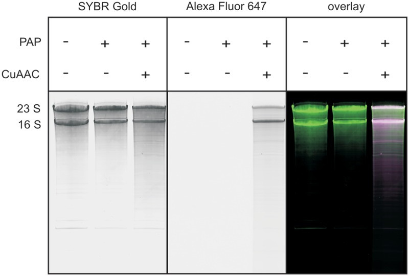 Fluorescent labeling of a natural RNA sample. A total RNA isolate from E. coli was reacted with 2′-N 3 -2′-dUTP and yeast PAP, and further subjected to CuAAC with Alexa Fluor 647 alkyne. Analysis by 8% denaturing PAGE. SYBR Gold scan (left panel), Alexa Fluor 647 scan (middle panel) and overlay (green: radioactivity; magenta: fluorescence; white: both; right panel) are given. The two main bands represent 23S and 16S ribosomal RNA.