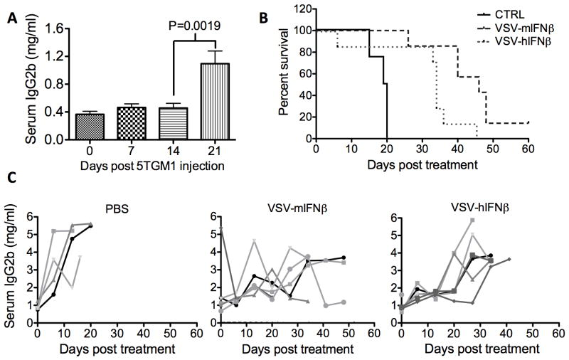 VSV-IFN therapeutic efficacy in mice bearing orthotopic myeloma 5TGM1 cells were implanted IV in syngeneic C57Bl/KalWrij mice. ( A ) Mean serum <t>IgG2b</t> concentration was quantified at 7 day intervals (n=26 mice). Mean serum IgG2b was measured by <t>ELISA</t> and compared using a t-test indicating a significant change in serum IgG2b from day 14 to day 21 post 5TGM1 implantation (*P=0.0019) ( B ) Survival response in myeloma bearing mice following a single IV dose of PBS, or 1×10 8 VSV-mIFNβ or VSV-hIFNβ. Survival was compared by log-rank analysis. VSV-mIFNβ and VSV-hIFNβ treatment significantly prolonged survival compared to PBS (P=0.0008*** and P=0.017* respectively), and survival of mice treated with VSV-mIFNβ is significantly prolonged compared to VSV-hIFNβ treated mice (P=0.021*) ( C ) Myeloma burden in response to IV treatment with PBS, VSV-mIFNβ or VSV-hIFNβ measured by serum IgG2b ELISA.