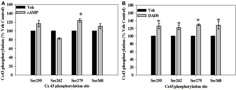 In-cell Western analyses of site-specific Cx43 phosphorylation in rat primary VSMCs in the presence of (A) 8Br-cAMP and (B) DADS . (A) In the presence of 8Br-cAMP, phosphorylation of the MAPK-sensitive Ser279 was significantly increased compared to vehicle controls. (B) The presence of DADS significantly increased phosphorylation at the MAPK sensitive Ser255 and Ser279 sites, p34 cdc2 kinase-sensitive Ser262, and the PKC-sensitive Ser368. Data are mean ± SE from three independent experiments with an n = 4 for Ser279 phosphorylation, and n = 3–4 for Ser255, 262, and 368 phosphorylation. Student–Newman–Keuls method for multiple comparisons following one-way ANOVA was used. * p