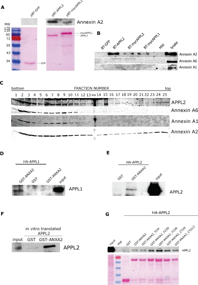 Annexin A2, but not Annexins A1 or A6, interacts with APPL proteins A and B) HEK293 cells were co-transfected with the plasmid encoding bacterial biotin-protein ligase (BirA) and one of the plasmids encoding GFP, APPL2 or APPL1 tagged with a BirA target sequence (pBT-GFP, pBT-APPL2, pBT-mycAPPL2 or pBT-mycAPPL1). Forty-eight hours after transfection, cells were lysed and affinity purification of APPL-interacting proteins was performed with streptavidine-conjugated magnetic beads. A) Binding of Annexin A2 to in vivo biotinylated APPL1 or APPL2 proteins is shown. Samples were resolved on 10% SDS–PAGE. Nitrocellulose membrane was stained with Ponceau S (lower panel) and immunoblotted for Annexin A2 (upper panel). B) Binding of Annexin A1 and Annexin A6 to in vivo biotinylated APPL1 or APPL2 proteins was tested. Samples were resolved on 10% SDS–PAGE and immunoblotted for Annexin A1 and Annexin A6, with Annexin A2 serving as a positive control. C) Migration of Annexins A1 and A6 in the OptiPrep density gradient. PNS sample adjusted to the final OptiPrep concentration 40.6% (w/v) was underloaded at the bottom of a 5–20% (w/v) continuous OptiPrep gradient. Twenty-five fractions of equal volume (500 µL each) were collected, pelleted, resolved on the gradient (6–15%) SDS–PAGE and immunoblotted for APPL2, Annexin A6, Annexin A1 and Annexin A2. D–F) GST pull-downs were performed with wild-type GST–Annexin A2 (GST–ANXA2) or GST alone with lysates from HEK293 cells overexpressing HA-APPL1 (D) and HA-APPL2 (E) or in vitro translated APPL2 (F). All samples were resolved on 8% SDS–PAGE and immunoblotted for APPL1 or APPL2, as indicated. As controls, 1 µL of cell lysates (1% of the input) was loaded in (D) and (E), and 1 µL in vitro translated protein (2% of the input) was loaded in F. G) GST pull-downs were performed with GST–Annexin A2 wild-type (GST–ANXA2) or mutants (TCM, Y23D, Y23A, CTΔ9, CTΔ13), or GST alone using lysates from HEK293 cells overexpressing HA-APPL2. All samples 