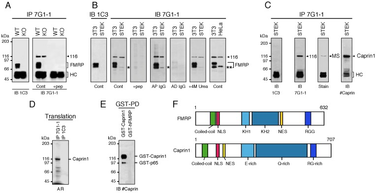 mAb7G1-1 detects mFMRP and Caprin1. A ) Immunoprecipitation analyses of WT and KO2 mouse brain extracts with mAb7G1-1 followed by immunoblotting with mAb1C3 (left panel in A ) or with mAb7G1-1 (right panel in A ). In addition to mFMRP, a clear band at 116 kDa is detected in WT immunoprecipitates. A similar band is also detected in KO2 extracts. Both bands are absent when immunoprecipitation is performed in the presence of the epitope peptide KHLDTKENTHFSQPN. B ) Immunoblot analyses with mAb7G1-1 of 3T3, STEK and HeLa cell extracts. While mAb3C1 detects only mFMRP in 3T3 extracts, mAb7G1-1 reacts with both mFMRP and p116. An additional weak band is also detected in both extracts at 65 kDa (indicated by a star). mAb7G1-1 does not react with hFMRP from HeLa extracts, but recognizes p116. Note the presence of the additional band that migrates slightly above 65 kDa in human HeLa extracts (double star). C ) Extracts from STEK cells were immunoprecipitated with mAb7G1-1. Immunoblot analyses with mAb1C3 reveal that mFMRP is indeed absent, while mAb7G1-1 reacts with p116. The Coomassie brillant blue stained band at 116 kDa was excised and analyzed by mass spectrometry and was identified as Caprin1. Immunoblot analyses with rabbit antisera raised against hCaprin1 confirmed the nature of p116 as Caprin1. D ) In vitro translated 35 S-labeled Caprin1 is immunoprecipitated by mAb7G1-1. E ) Recombinant GST-Caprin1 isolated on Glutathione-Sepharose beads is revealed with anti-Caprin1 IgG in immunoblot analyses. Note the presence of the minor truncated band at ∼95 kDa. F ) Structural comparisons between FMRP and Caprin1. WT and KO: wild type C57BL/6J and Fmr1 −/− KO2 mice, respectively. IP: immunoprecipitation; IB: immunoblot; Cont: control; HC: IgG heavy chains; AP: affinity purified; AD: affinity depleted; AR: autoradiography.