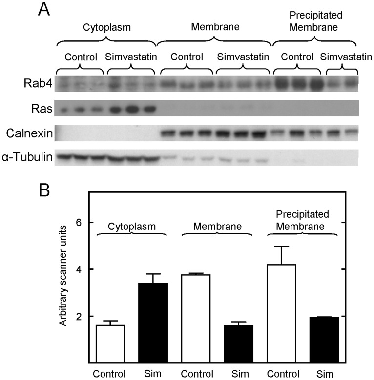 Simvastatin administration to mice decreased prenylation of specific small G proteins, as measured by a decrease in their membrane association. Panel A, Western blot showing the level of Rab4, Ras, calnexin, and α-tubulin in the cytoplasmic and membrane fractions purified from the liver of control and simvastatin treated mice. Panel B shows the quantification of the data shown in Panel A. The levels of Rab4 in the cytoplasmic fractions were normalized to the level of α-tubulin in each sample. The levels of Rab 4 in the membrane fractions were normalized to the level of calnexin in each sample. Means and standard errors obtained with tissue from control (open bars) and simvastatin treated (closed bars) mice are shown. One of the precipitated membrane samples was overloaded on this blot, and the amount of Rab4 reported in panel B was determined from another blot. The scanner units were adjusted to facilitate comparisons between membrane and cytoplasmic fractions.