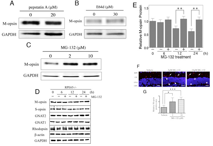 Expression of M-opsin protein in the retina after treatment with several types of protease inhibitors for 24 h in retinal explants. M-opsin protein levels were analyzed with western blotting after treatment with ( A ) pepstatin A, ( B ) E64d, and ( C ) MG-132.  D : Effect of MG-132 on M-opsin, S-opsin, GNAT2, GNAT1, and rhodopsin at the protein level analyzed with western blotting.  E : Quantitative analysis of M-opsin protein level.  F : Immunohistochemistry in MG-132-treated retinas for 24 h showed M-opsin (red). Cell nuclei were contrasted with DAPI (blue). M-opsin-positive cells increased after treatment with 2 μM or 10 μM MG-132 compared with vehicle in cone outer segments (arrows), ONL, and OPL (arrowheads) in the retina.  G : Densitometric analysis of immunofluorescence probed anti-M-opsin antibody in a 400-μm-wide section of retina. Histograms indicate mean±SD (n=6). *p