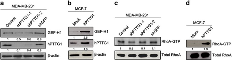 hPTTG1 regulates the expression of GEF-H1 and the activation of RhoA. ( a ) Immunoblot analysis of hPTTG1 and GEF-H1 expression in control (not transfected with any DNA), GFP-knockdown or hPTTG1-knockdown MDA-MB-231 cells. ( b ) Immunoblot analysis of hPTTG1 and GEF-H1 expression in MCF-7 cells transfected with pcDNA3.1 vector (Mock) or pcDNA3.1-hPTTG1 expression plasmid. ( c ) Immunoblot analysis of active RhoA (RhoA-GTP) and total in control (not transfected with any DNA), GFP-knockdown or hPTTG1-knockdown MDA-MB-231 cells. ( d ) Immnuoblot analysis of active RhoA (RhoA-GTP) and total RhoA in MCF-7 cells transfected with pcDNA3.1 vector (Mock) or pcDNA3.1-hPTTG1 expression plasmid. The relative intensity of protein was quantified by Quantity One software and normalised to β- actin and total RhoA.