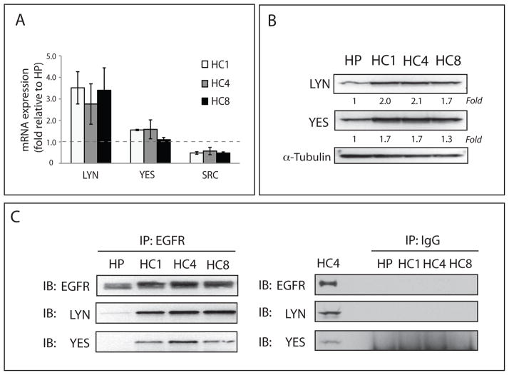 Yes and Lyn SFK family members are overexpressed in Ctx R cells (A) Yes and Lyn mRNA is up-regulated in Ctx R clones (HC1, HC4, and HC8). Lyn (3.6~4.5-fold), Yes (~1.5-fold) and Src (−2.3~−3.5-fold) mRNA expression levels were compared to that of the Ctx S cell line (HP) by qPCR. (B) Total protein levels of Yes and Lyn were increased (1.3~2.1-fold) in Ctx R clones (HC1, HC4, and HC8) as compared to the Ctx S cell line (HP). Cells were harvested and protein lysates were fractionated on SDS-PAGE followed by immunoblotting for the indicated proteins. α-tubulin was used as a loading control. Protein expression was quantitated using ImageJ software. (C) Analysis of EGFR binding partners in Ctx R cells using immunoprecipitation assay indicated that EGFR displayed increased binding with Yes and Lyn as compared to the Ctx S parental cell line. Cells were harvested and EGFR or IgG were immunoprecipitated with anti-mouse EGFR antibody or normal mouse IgG. The immunoprecipitate complexes were fractionated on SDS-PAGE followed by immunoblotting for indicated proteins.