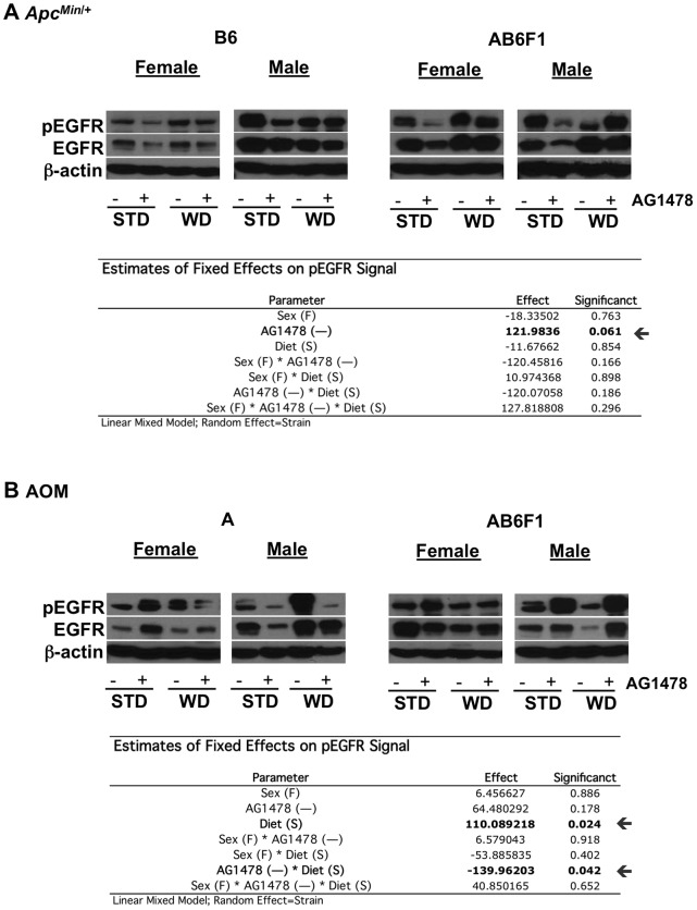 "Western blot analysis of <t>EGFR</t> signal. Total EGFR and <t>pEGFR</t> in liver protein lysates from A) APC Min /+ and B) AOM mice, separately for each strain and sex. STD = standard diet, WD = western diet, ""+"" = AG1478 treatment and ""−"" = no AG1478 treatment. Below bar graphs are estimated effects and significance based on linear mixed models."